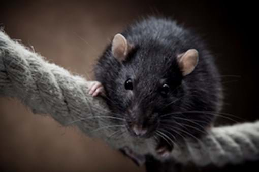 Mouse In Your House Simple Tips To Control Mice And Rats Pestworld