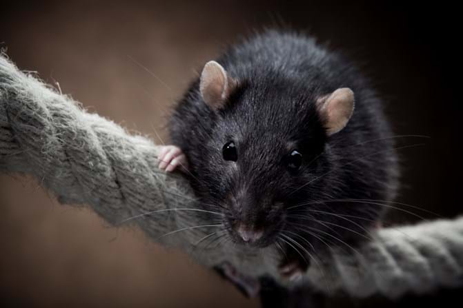 Mouse In Your House Simple Tips To Control Mice And Rats