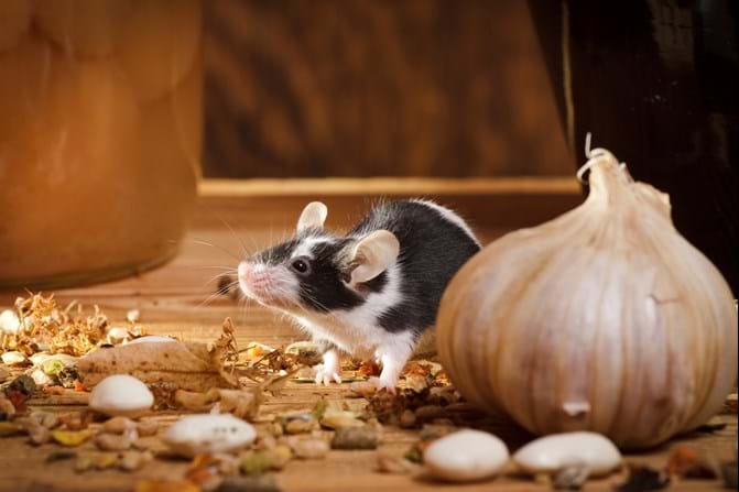 Fascinating Mouse Facts You Did Not Know - Mice Facts