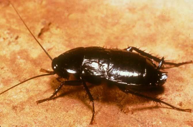 Oriental Roach