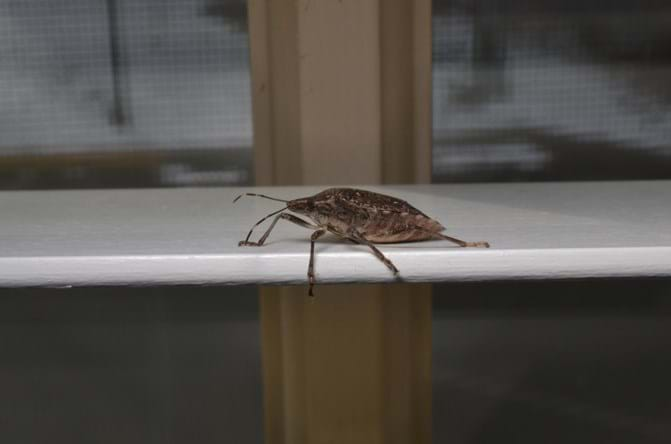 What Are Stink Bugs Npma Explains Where Stink Bugs Came