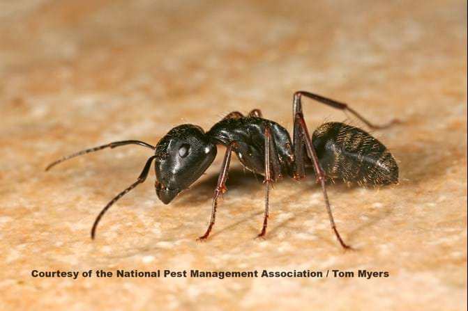 Get Rid Of Big Black Ants In Kitchen