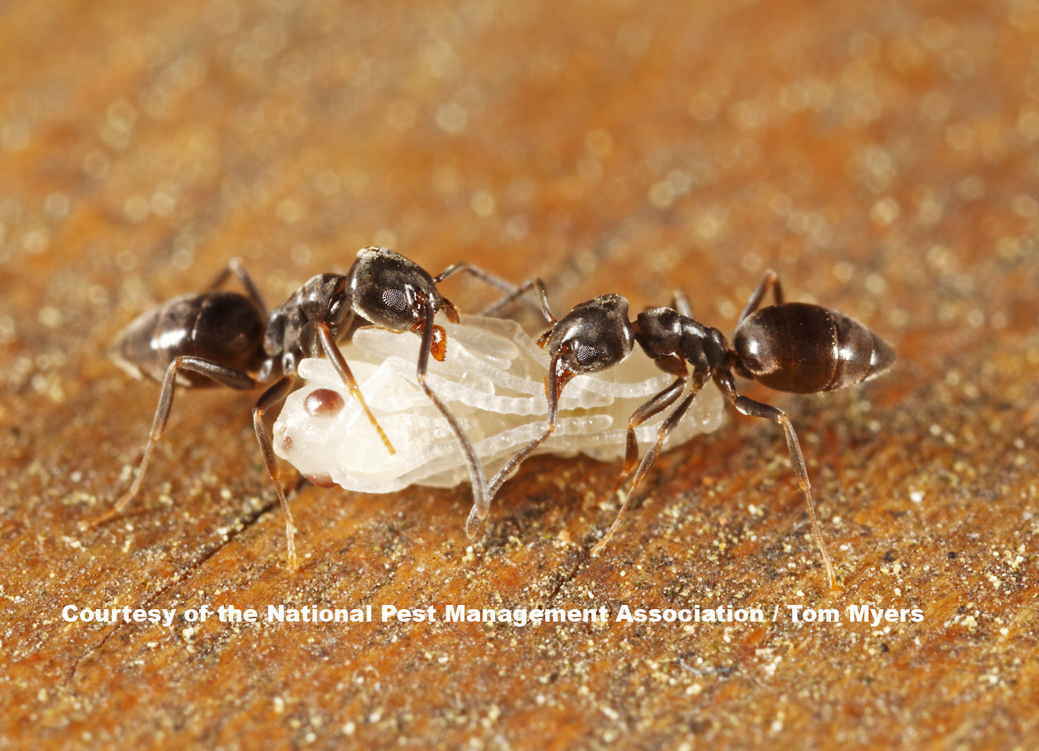 Ants Are The Number One Nuisance Pest In The United States. With More Than  700 Species Occurring In The Country And More Than 20 Types Known To Infest  Homes ...