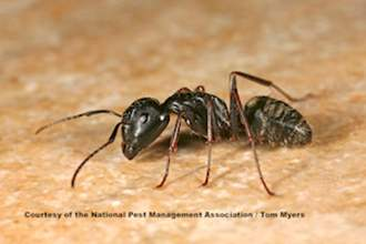 Carpenter Ant IMG_3011.jpg