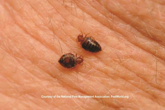 Bed Bug Biology: Bed Bug Size, Bed Bug Color & Anatomy