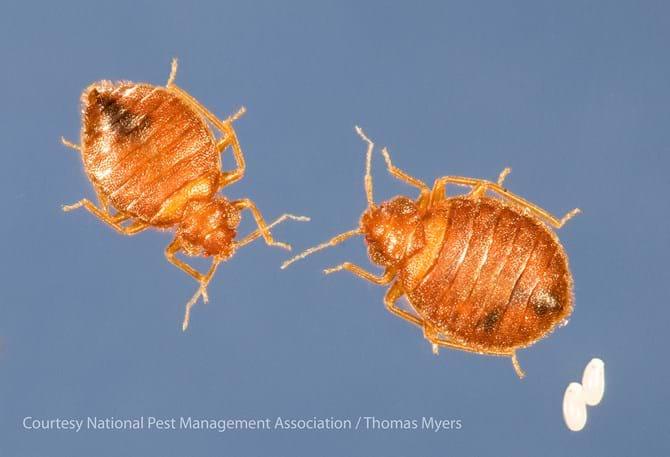 Bed Bug Biology: Bed Bug Size, Bed Bug Color & Anatomy - PestWorld