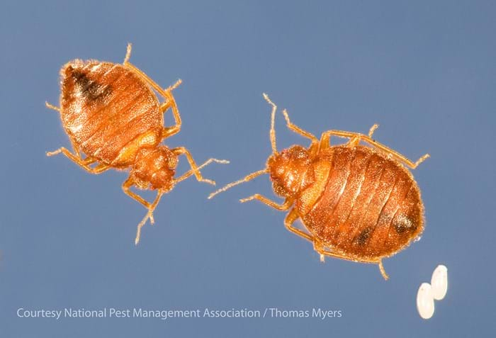Bed Bugs Pest Control Tips From Exterminators