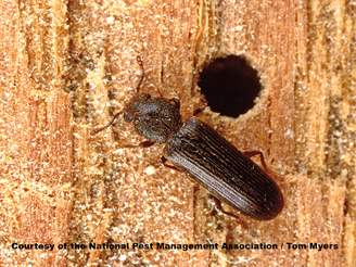37 Powderpost beetle   NPMA.jpg