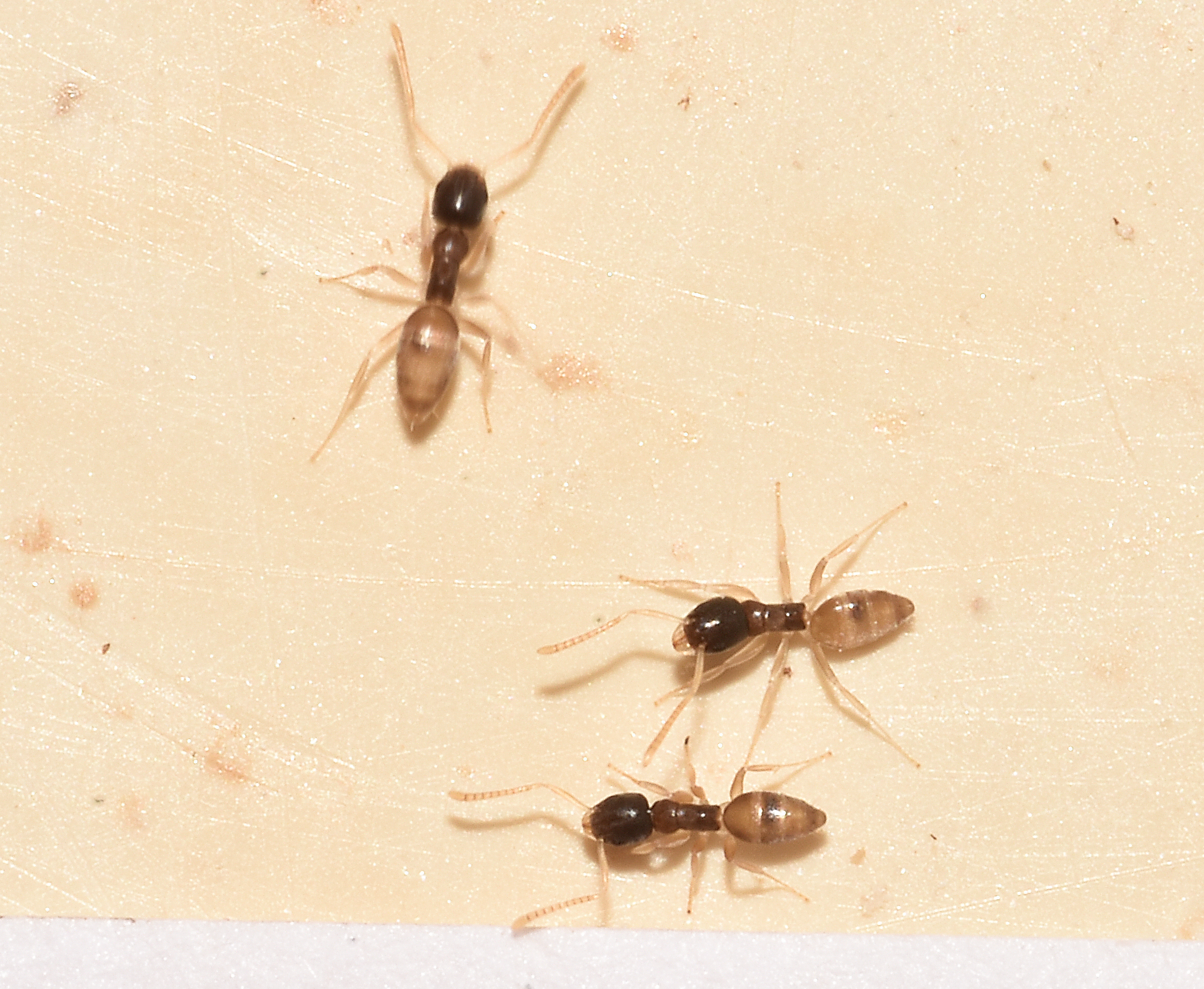Marvelous Ants In Bathroom. Small Ants In Kitchen And Bathroom Besto Blog