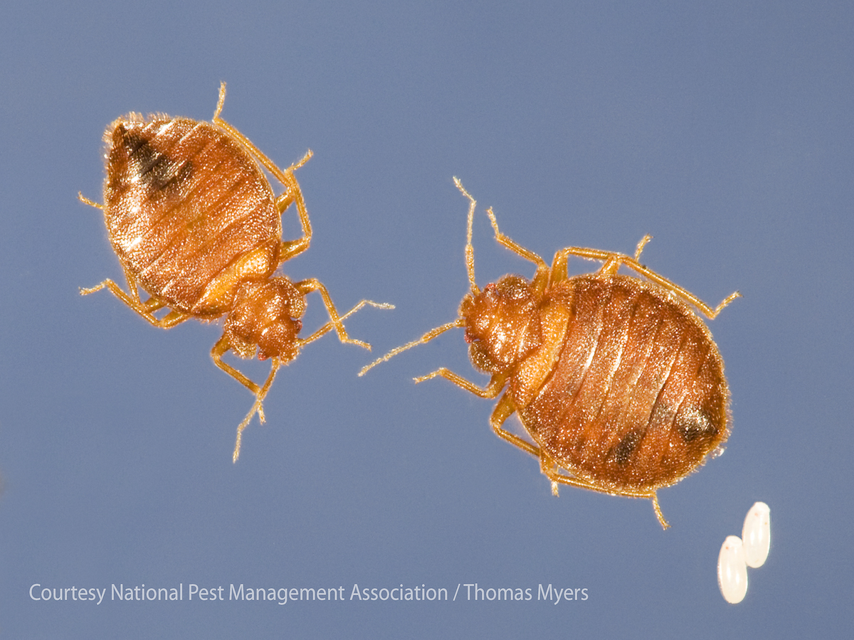 about information adult bugs bed adultbedbugs