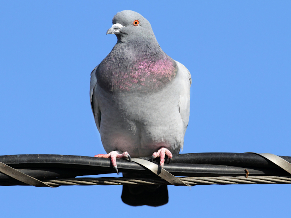 How to get rid of pigeons 52