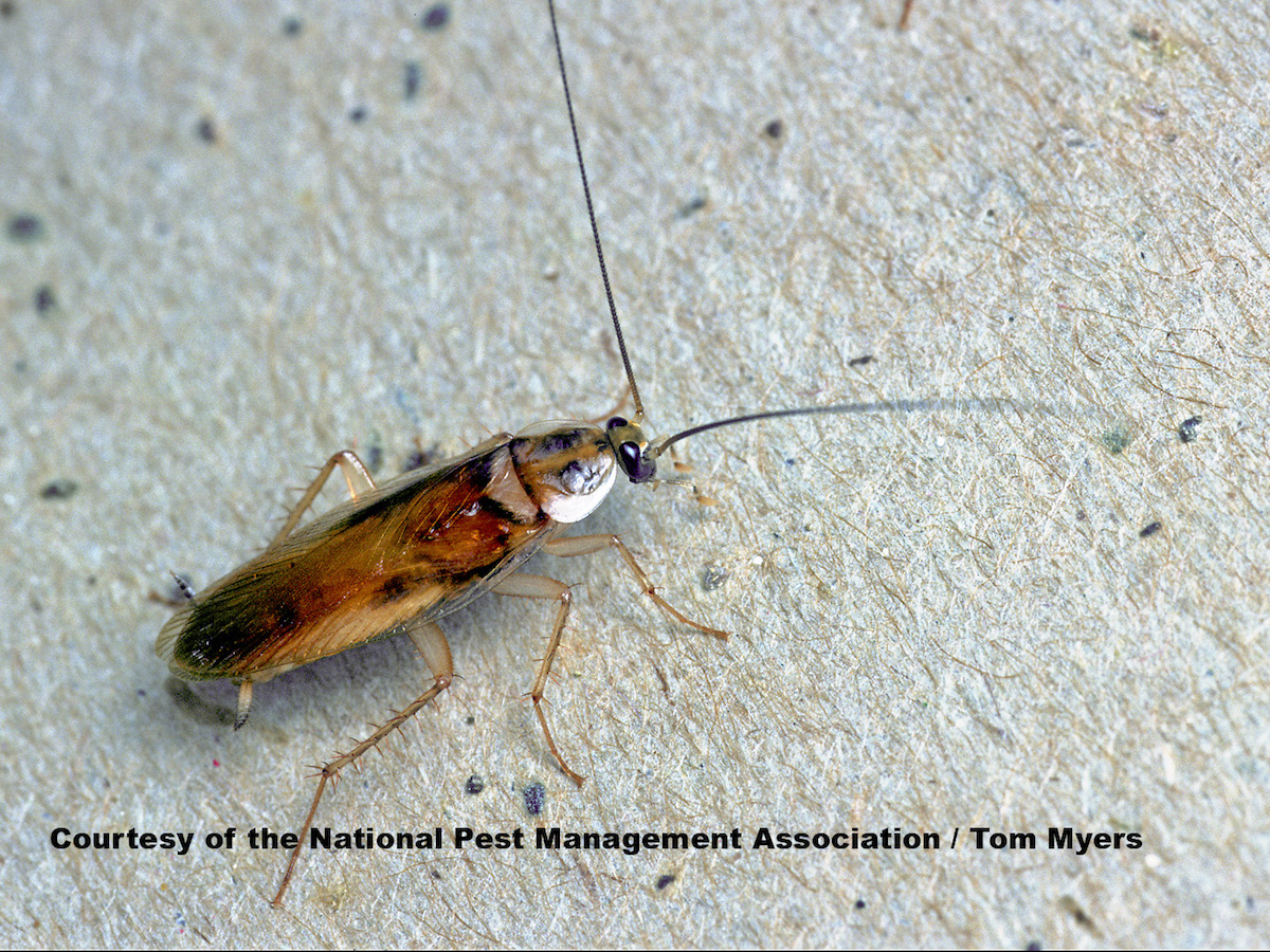 Brown-Banded Cockroaches: Identification & Control