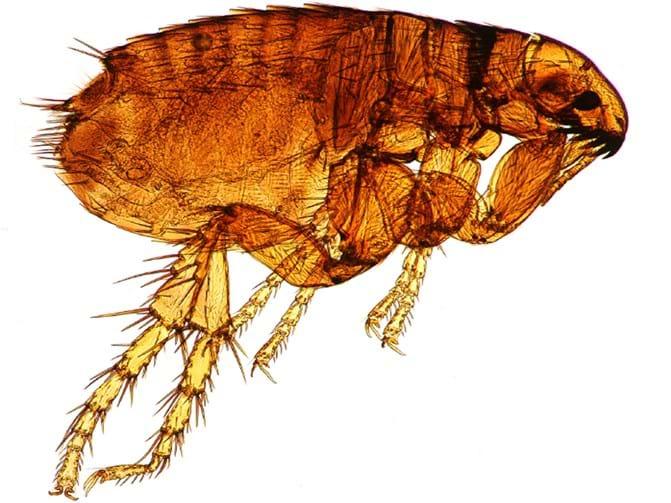 Flea Bites 101 Do Fleas Bite Humans How To Treat Bites