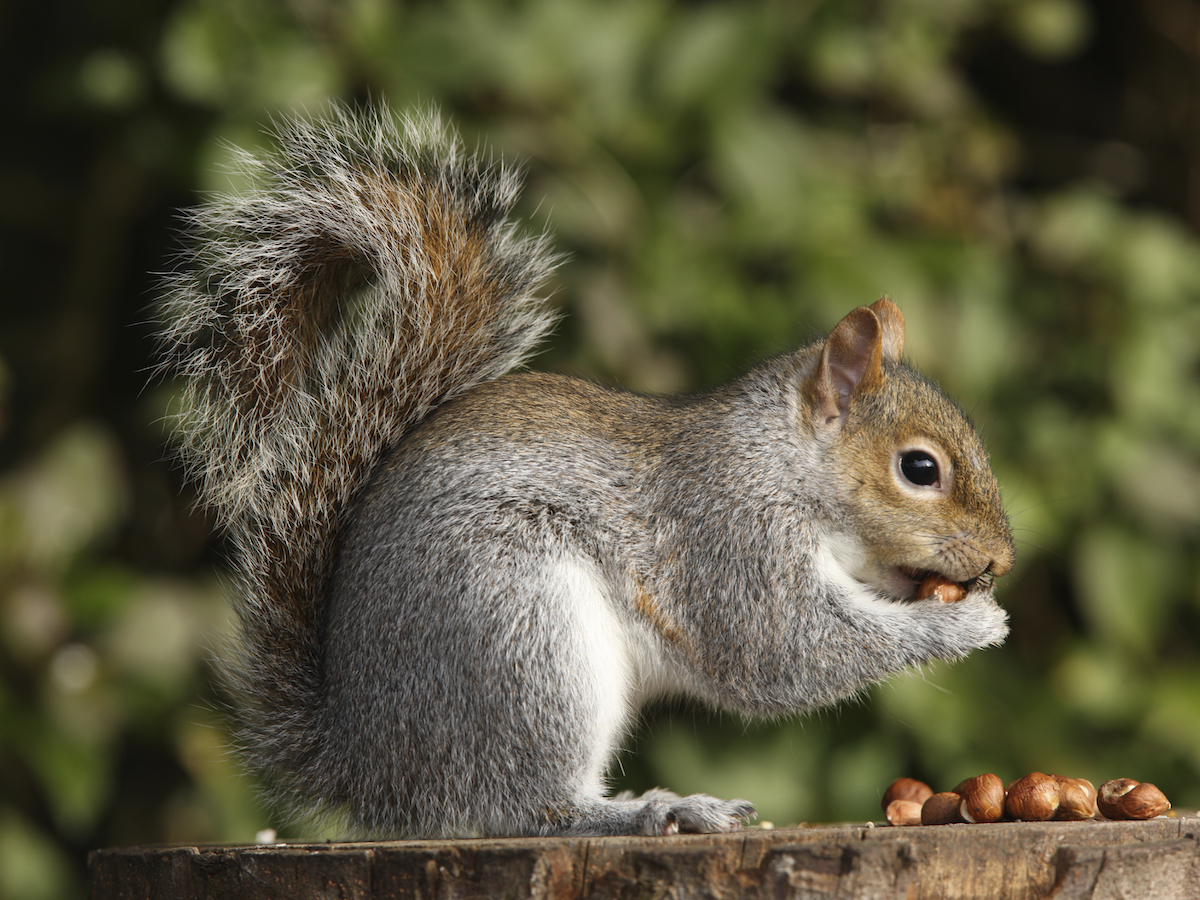 Tree Squirrels Facts Behavior