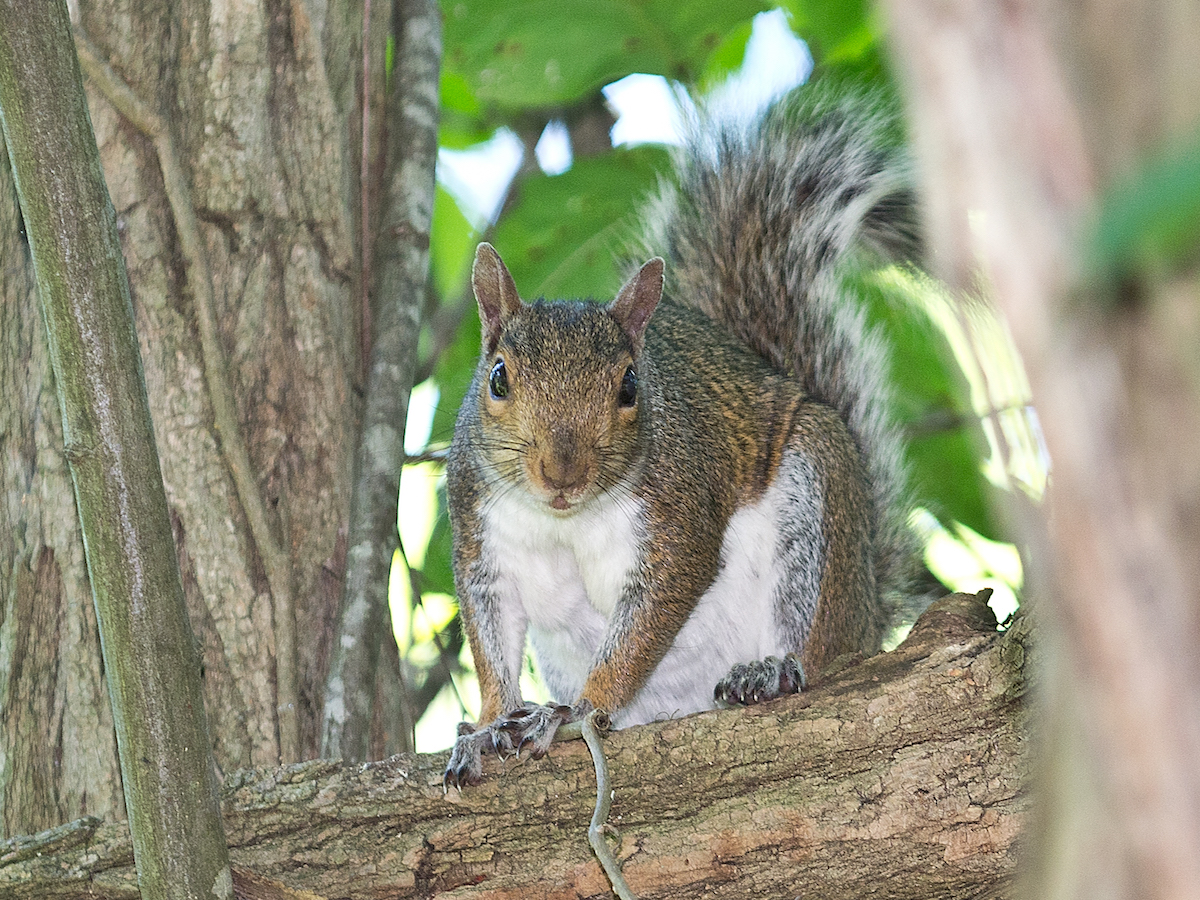 Tree Squirrels Facts Amp Behavior Information