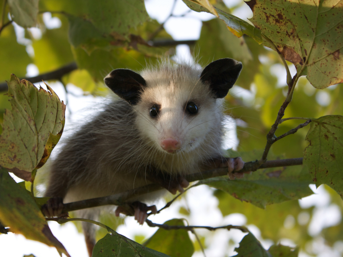 how to tell if its a possum or a rat