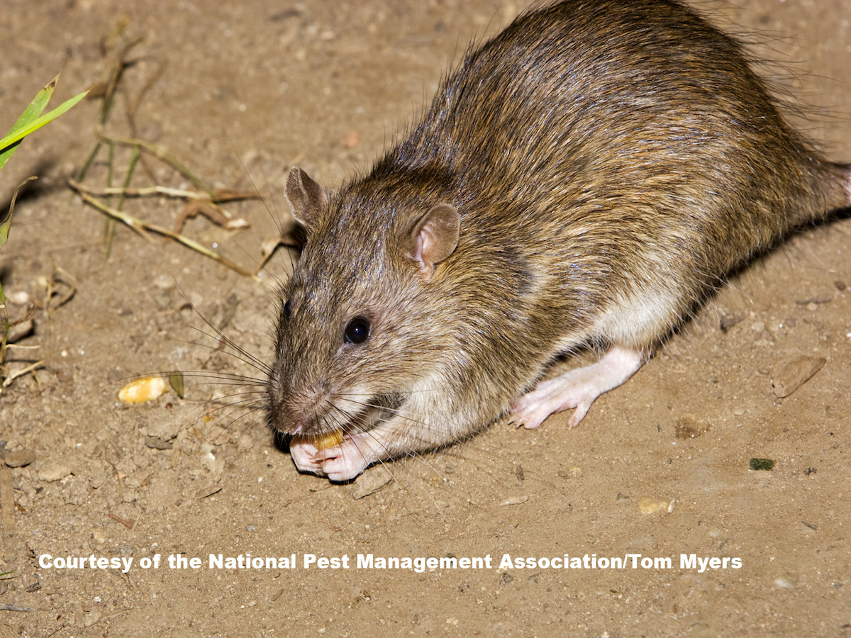 Norway Rats Control Prevention Information For Rats