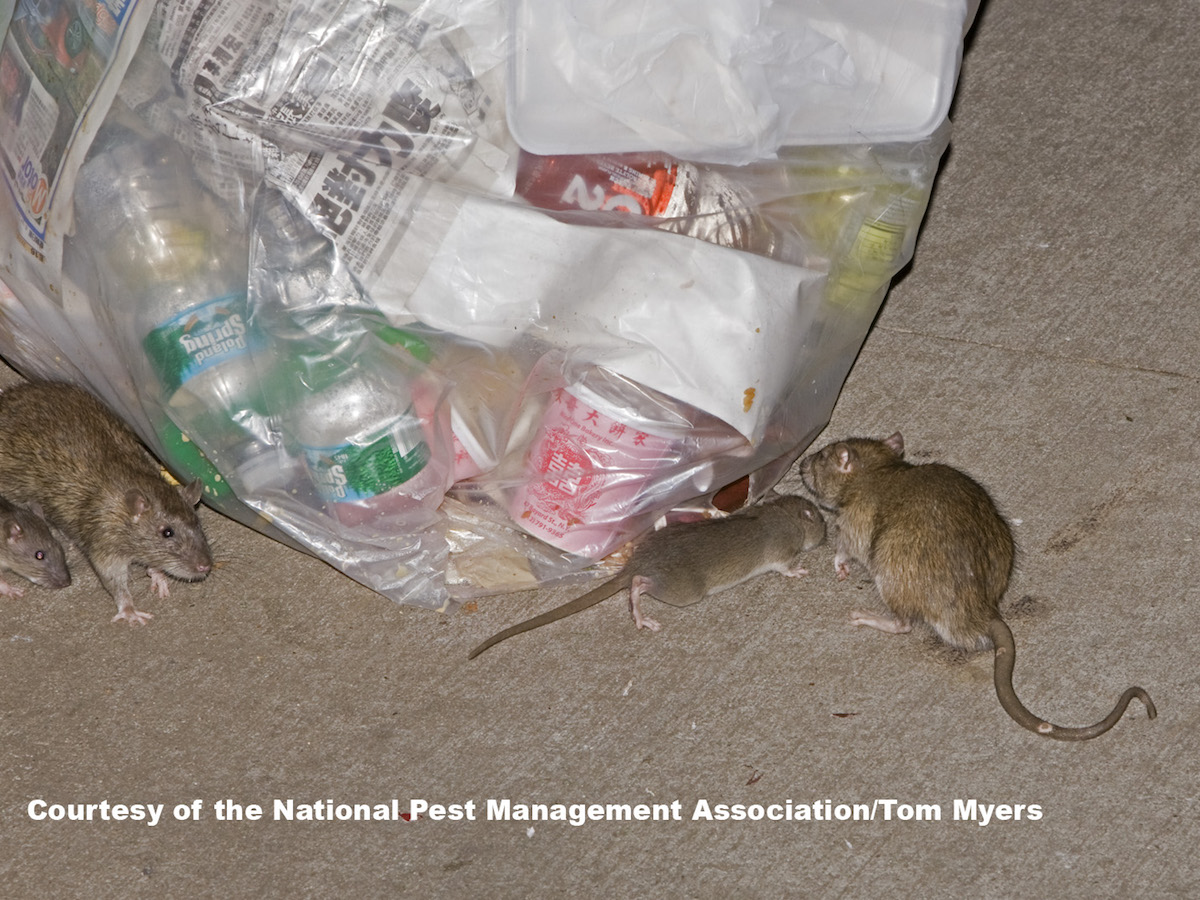 Norway Rats Control Amp Prevention Information For Rats