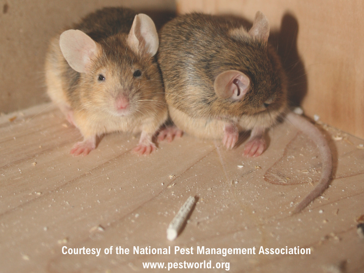 House Mice Profile - Control & Identification of Mice