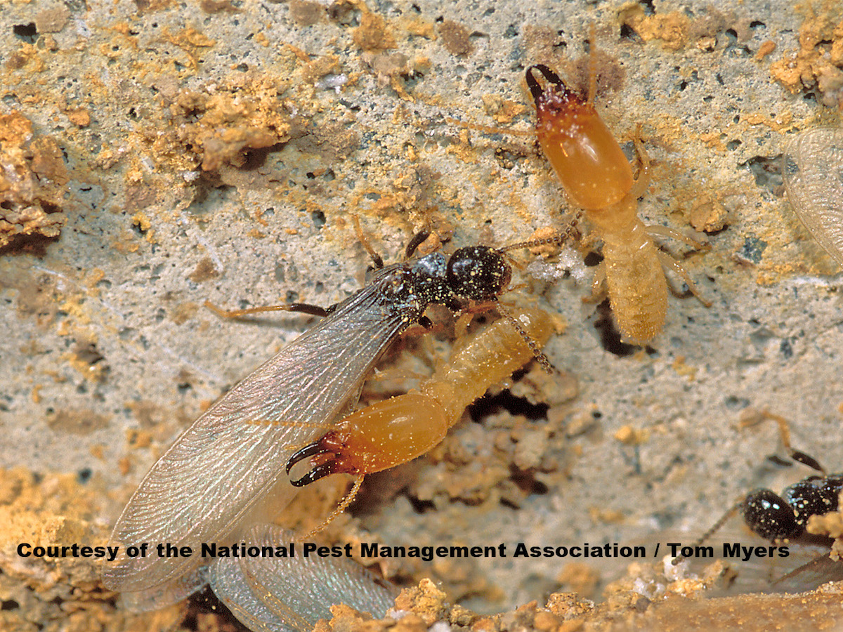 What Does a Termite Look Like  Termite Information