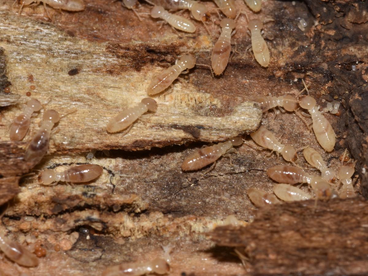 subterranean termites photos info extermination
