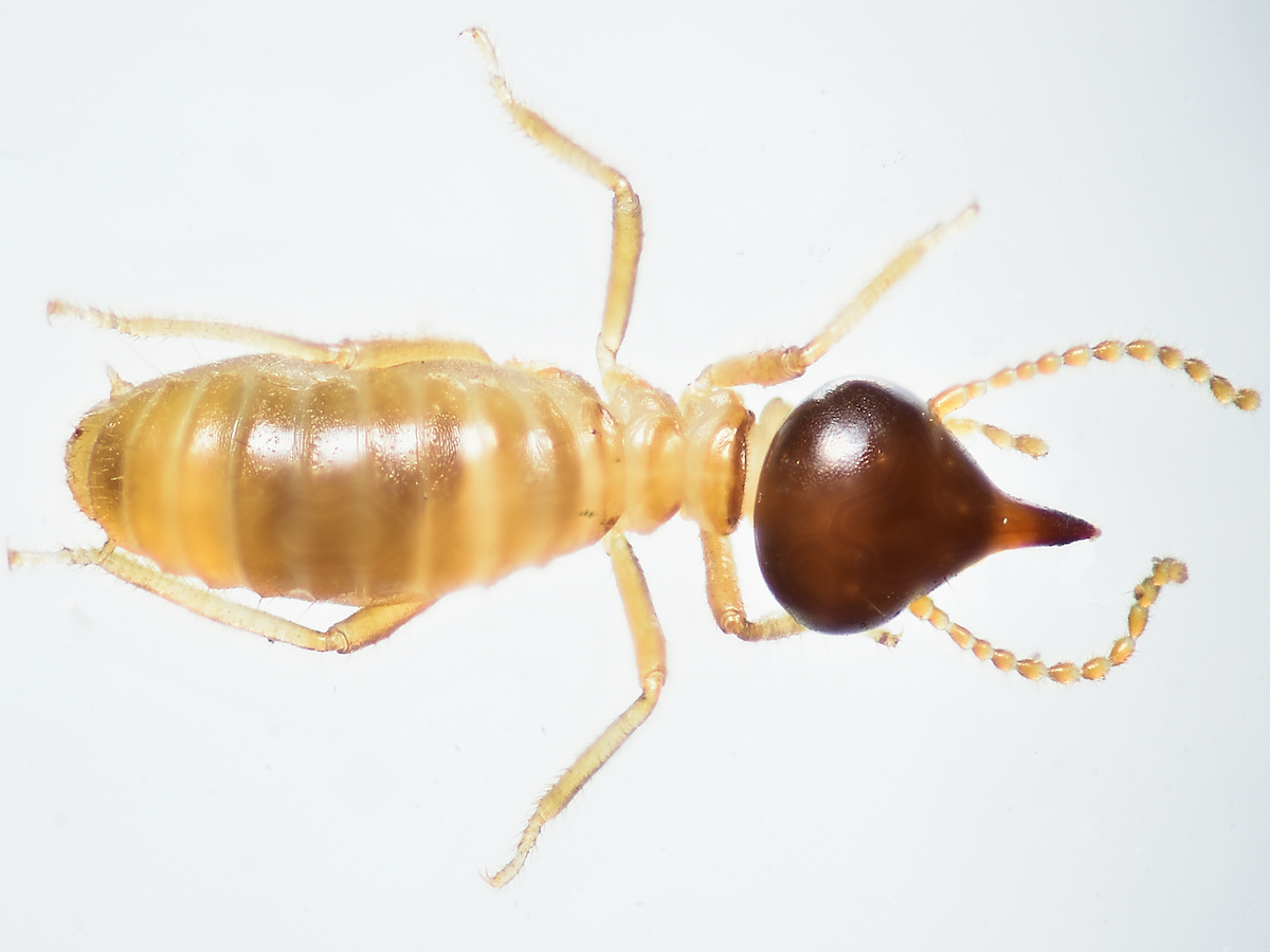 How To Spot Termites Termite Identification Pictures