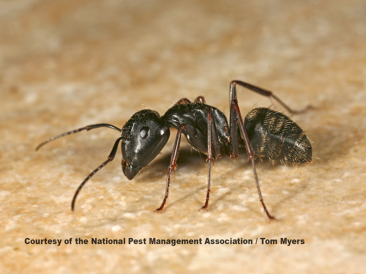 Peachy Carpenter Ants How To Get Rid Of Black Carpenter Ants Download Free Architecture Designs Jebrpmadebymaigaardcom