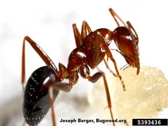 Field Ant_InsectImages.org.jpg