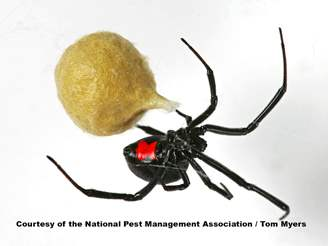black widow spiders facts extermination information