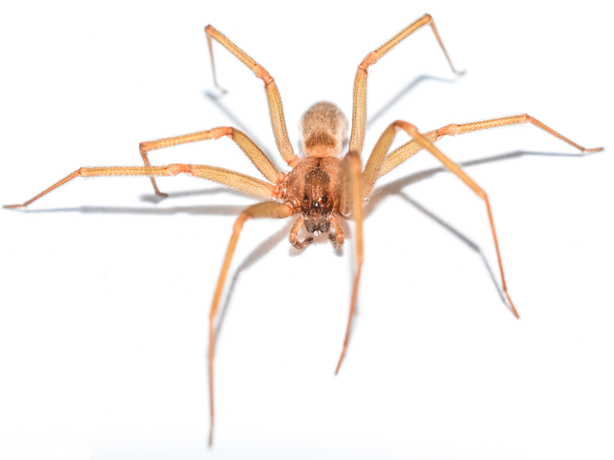 Head On Photo Of A Brown Recluse Spider