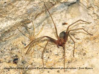 Brown Recluse Spider.jpg