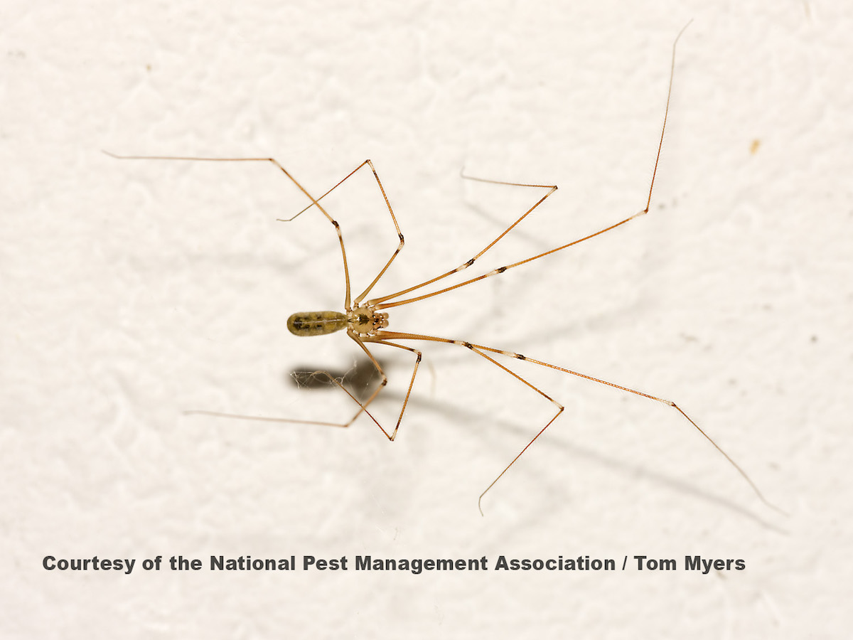 spider with long thin legs