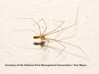 Long Bodied Cellar Spiders Facts Amp Information