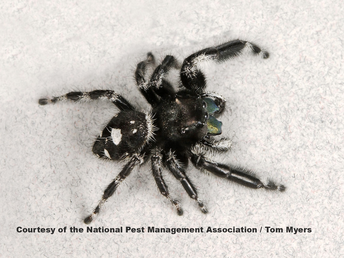 Jumping Spiders Pest Profile Pictures \u0026 Information