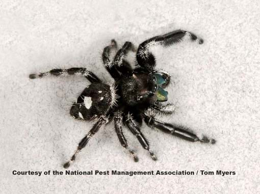 Jumping Spiders Pest Profile Pictures Information