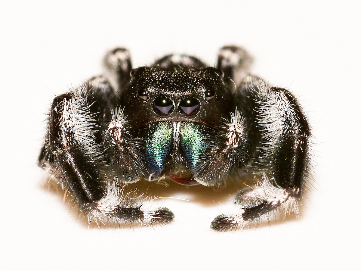 Jumping Spiders Pest Profile: Pictures & Information