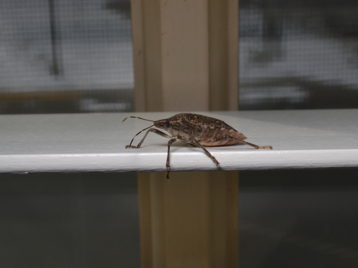 Stink Bug Control Info: How to Get Rid of Stink Bug