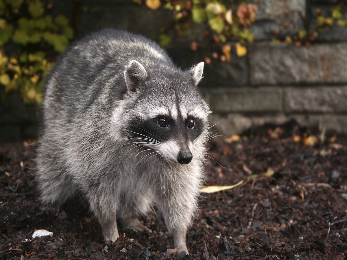 How to Get Rid of Raccoons: Raccoon Facts, Photos, Control
