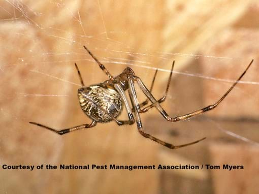 Common House Spiders: House Spider Control & Information
