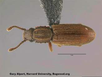 Merchant Grain Beetle_InsectImages.org.jpg