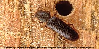 37 Powderpost beetle   NPMA.jpg (1)