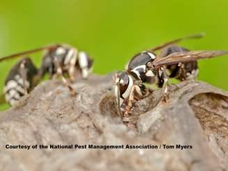 baldfaced hornet information photos amp hornet stings