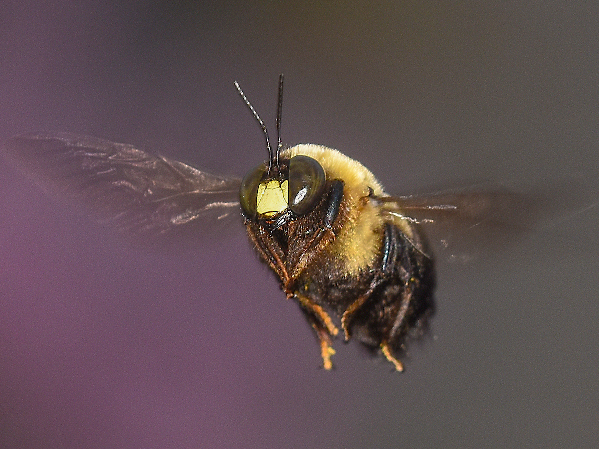 Black Bumble Bee >> Bumble Bees - Prevention, Control & Facts About Bees