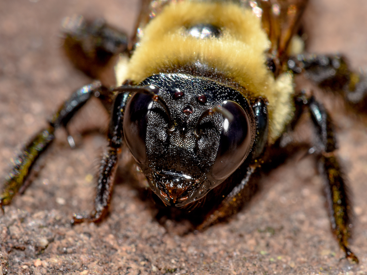 Head On Photo Of A Carpenter Bee
