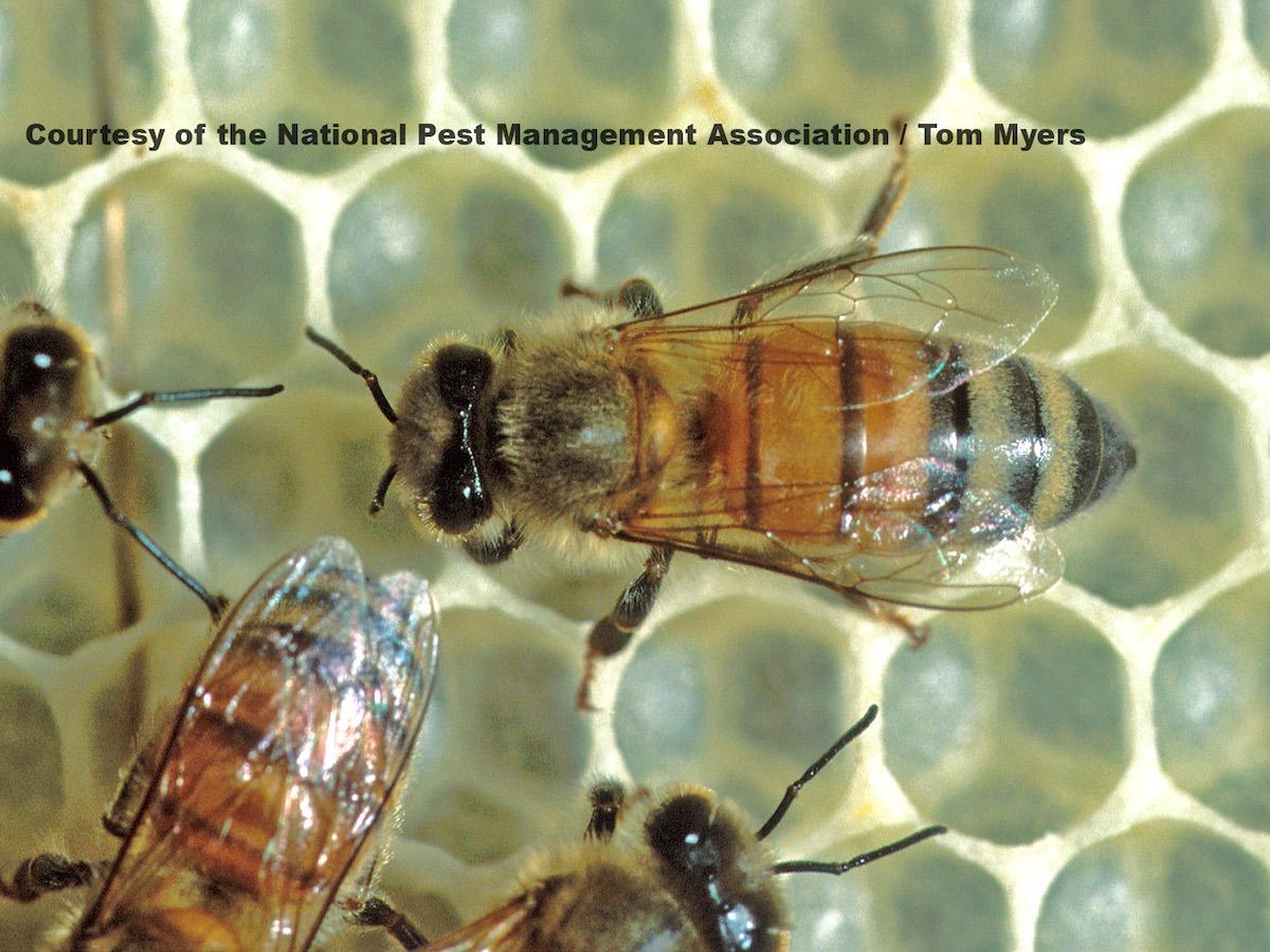 Honey Bee Control - Honey Bee Management & Treatment