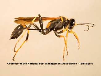 Get Rid Of Mud Daubers Dauber Stings Info More