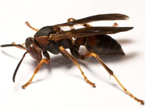 Paper Wasps Paper West Removal Paper Wasp Sting Info