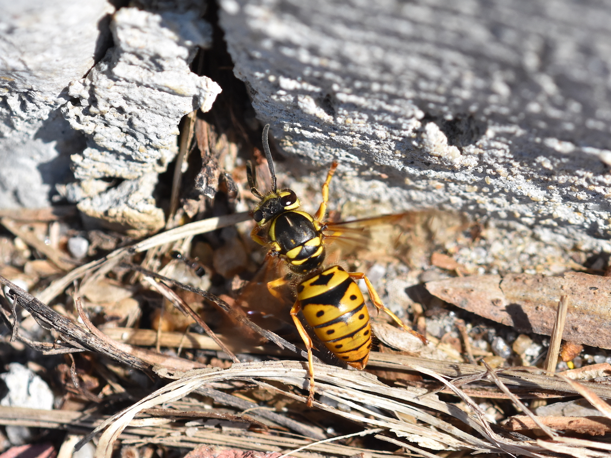 yellow jackets how to get rid of yellowjackets stingers