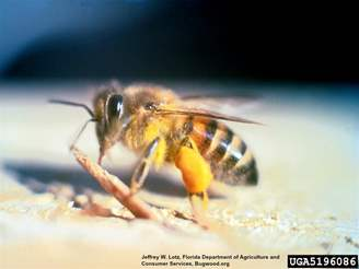Africanized Killer Bee_InsectImages.org.jpg
