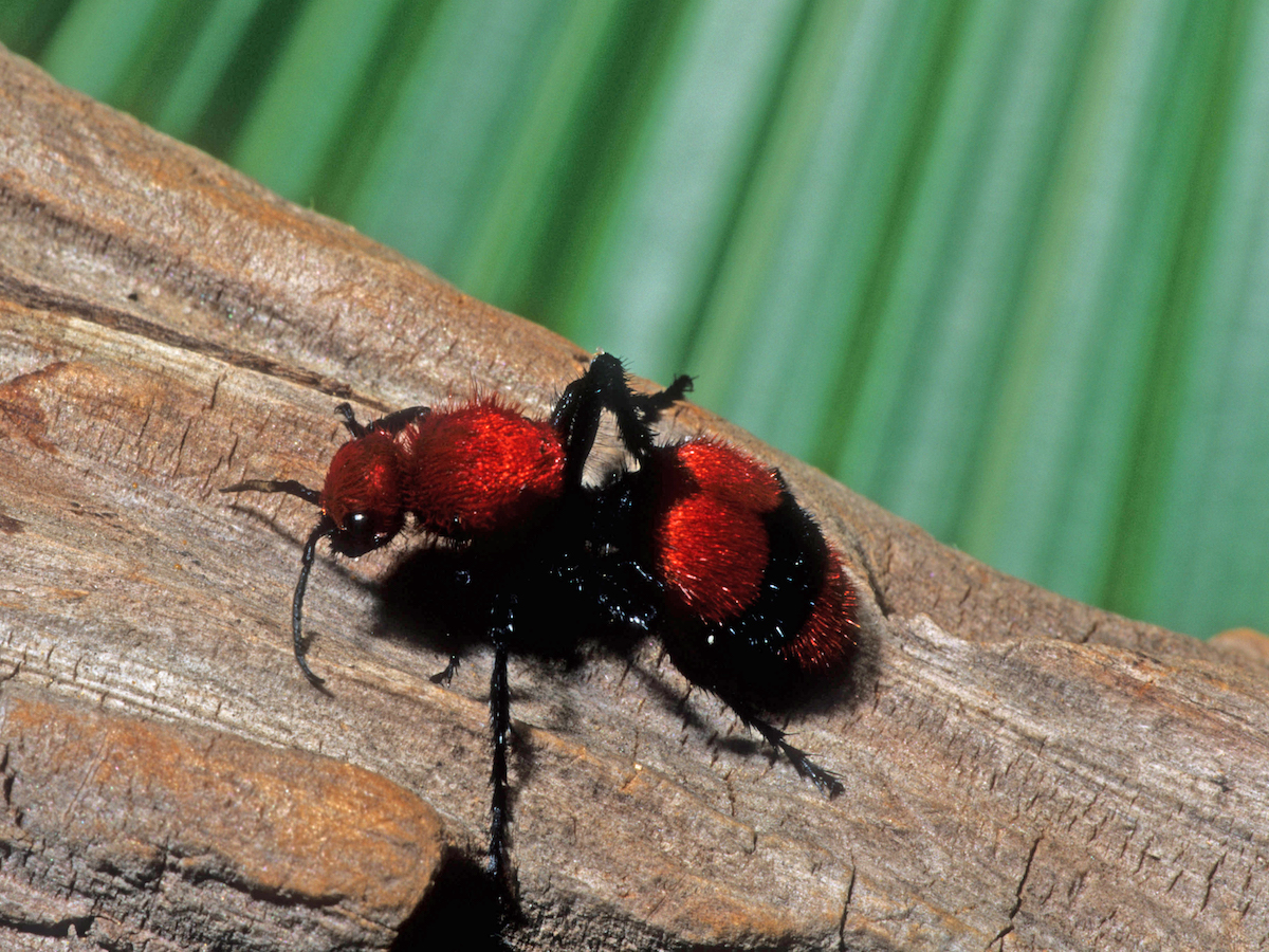 Photo Of A Female Velvet Cow Ant On Log